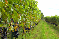 Free Rows Of Red Wine Grapes Stock Photography - 3128202