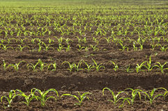 Rows Of Seedling Spring Corn