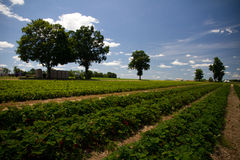 Rows Of Strawberries With Blue Sky Stock Photos