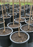 Rows Of Trees In Black Pots Royalty Free Stock Images