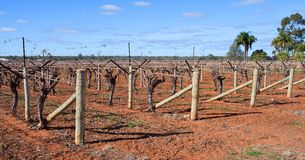 Rows Of Vines, Canes Rolled On T-Trellis. Stock Photography