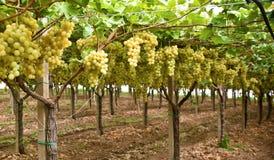 Free Rows Of Yellow Grape  Italian Vineyard – On Mount Etna, Sicily Royalty Free Stock Photography - 181932307