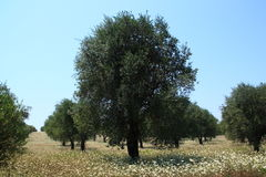 Rows of olive tree. In a field in bloom royalty free stock photos