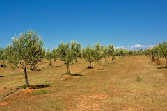 Rows of olive trees in Mali Losinj, Croatia. Olive grove on dry brown soil on a sunny day with clear blue sky in Mali Losinj island, Croatia Royalty Free Stock Photos
