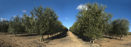 Rows of olive trees, panoramic Stock Image