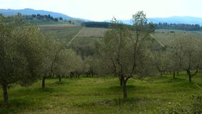 Rows of olive trees on a tuscanian hills stock video