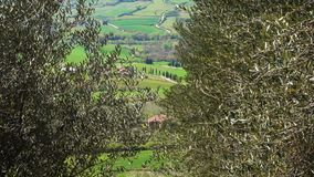 Rows of olive trees on a tuscanian hills stock footage