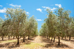 Rows of Olives Royalty Free Stock Photo