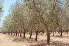 Rows of Olives Stock Photography