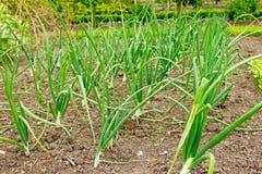 Rows of onion plants Stock Photo
