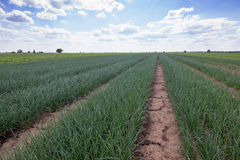 Rows of Onions, Onion Field, Onions plantations, Agricultural landscape Stock Photography