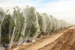 Rows of Orange Trees under Netting Stock Images