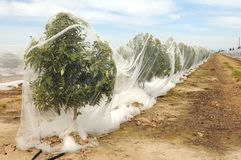 Rows of Orange Trees under netting Stock Photography
