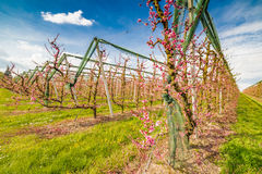 Rows of orchards. Peach trees in the countryside of Romagna Stock Photos