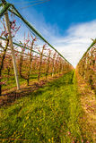 Rows of orchards. Peach trees in the countryside of Romagna Royalty Free Stock Photos