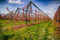 Rows of orchards. Peach trees in the countryside of Romagna Stock Images