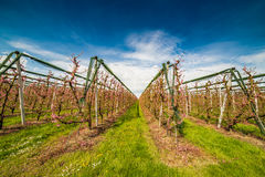 Rows of orchards. Peach trees in the countryside of Romagna Royalty Free Stock Images