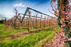 Rows of orchards. Peach trees in the countryside of Romagna Stock Photography