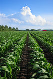 Rows of Organic Corn Royalty Free Stock Photography
