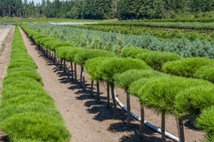 Rows of ornamental pine shrubs Royalty Free Stock Photography