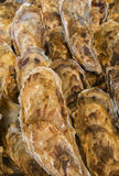 Rows of Oysters Stock Image