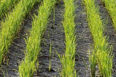 Rows of paddy seedlings Stock Images