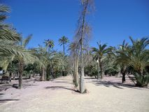 Palm forest at Elche, Spain Royalty Free Stock Photos