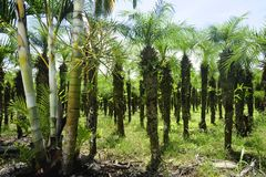 Rows of palm trees can be seen in Costa Rica`s agricultural areas. royalty free stock photos