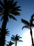 Rows of palms. Silhouette of rows of palm trees backlit by the late afternoon sun stock photography