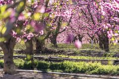 Rows of peach tree in bloom, with pink flowers at sunrise. Aitona. alcarras, Torres de Segre. Agriculture stock photos