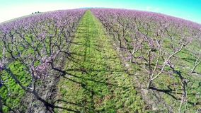 Rows of Peach trees with pink flowers stock video