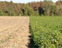 Rows of peanut crops Stock Photo