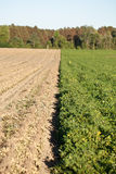 Rows of peanut crops. A dividing line between plowed peanuts and peanut crops in line for picking Royalty Free Stock Photo