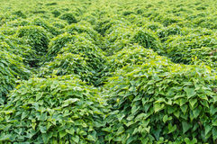 Rows of peanut plants Stock Images