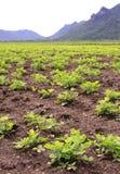 Rows of peanut plants Stock Image