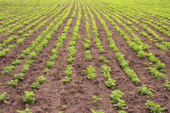 Rows of peanut plants Royalty Free Stock Image