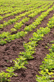 Rows of peanut plants Royalty Free Stock Photos