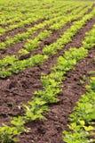 Rows of peanut plants Royalty Free Stock Photos