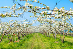 Rows of pear trees in blossom. Stock Images