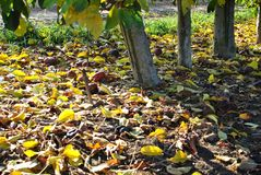 Rows of pear trees at sunrise. Autumn. Fallen yellow leaves. royalty free stock photo