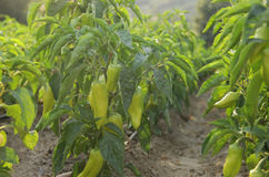 Rows of peppers Stock Photography