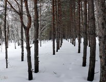 Rows of pine-trees in forest Stock Photo