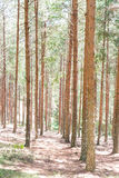 Rows of pine trees Stock Image