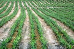 The rows of pineapple grown in the field. The rows of pineapple grown on the field stock image