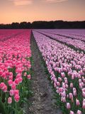 Rows of pink and  purple tulips at sunset Royalty Free Stock Photography