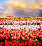 Rows of tulip flowers. Rows of pink, red, orange and yellow growing tulips flowers under rainbow stock photography