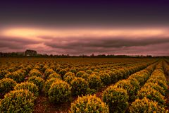 Rows of Plant in Holland Royalty Free Stock Photography