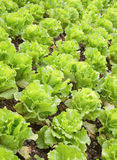 Rows of planted lettuce Stock Images