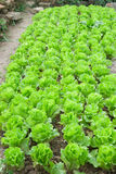 Rows of planted lettuce. At backyard Royalty Free Stock Photo