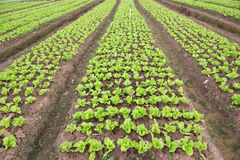 Rows of planted lettuce. On the field Stock Photos